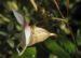Zurück zum kompletten Bilderset Drüsiges Springkraut Blüte weiß Impatiens glandulifera