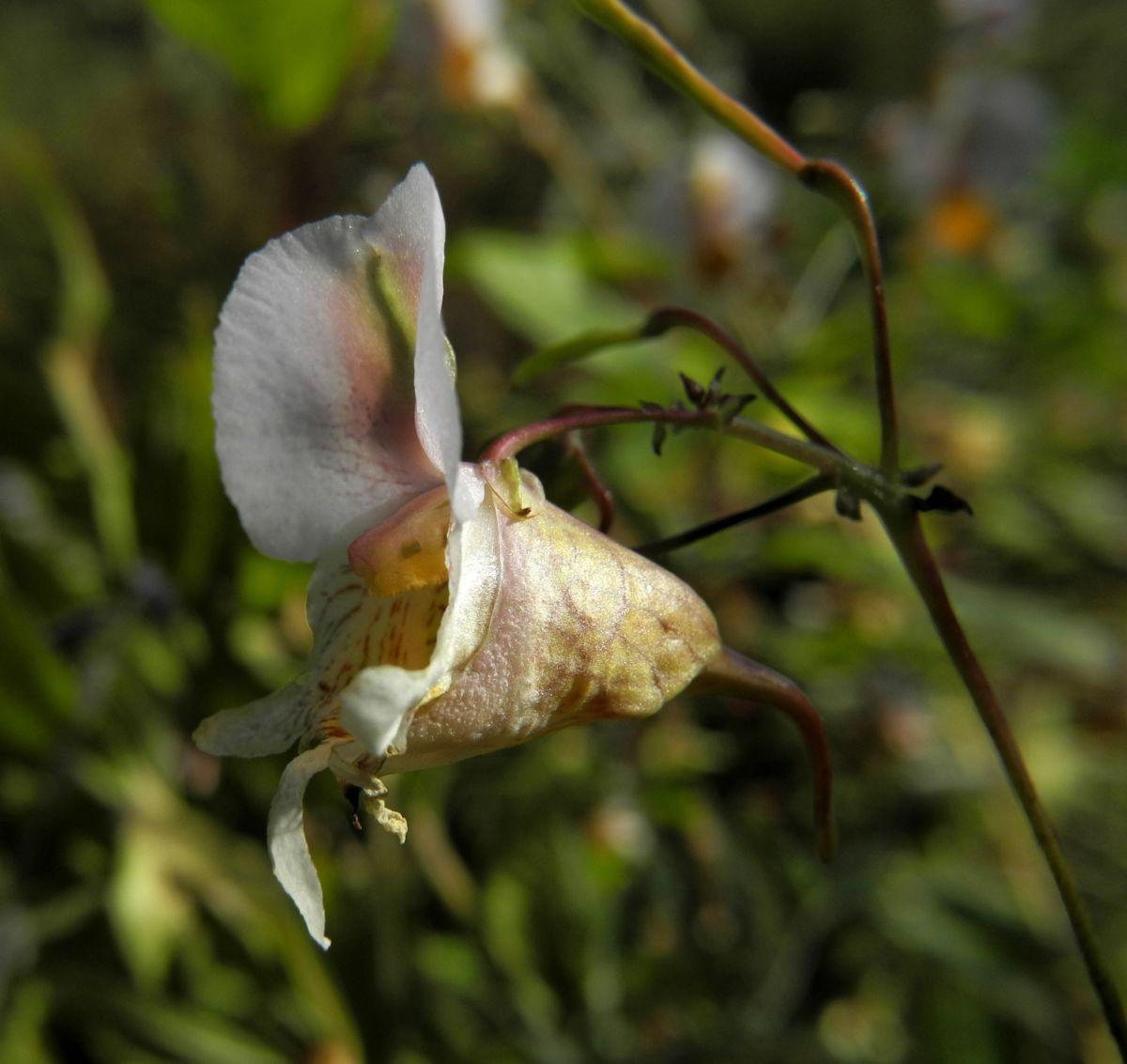 Druesiges Springkraut Bluete weiß Impatiens glandulifera
