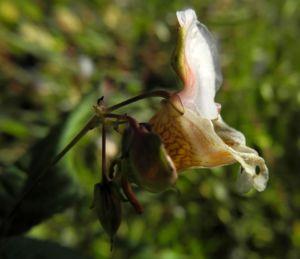 Druesiges Springkraut Bluete weiß Impatiens glandulifera 17