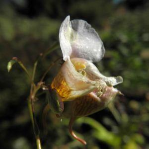 Druesiges Springkraut Bluete weiß Impatiens glandulifera 18