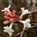 Duft Schneeball Bluete weissrosa Viburnum fragrans 01