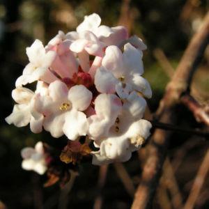 Duft Schneeball Bluete weissrosa Viburnum fragrans 04