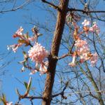 Bild: Duft Schneeball Blüte rosa Viburnum x bodnantense