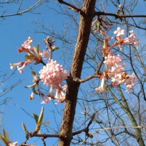Bild: Duft Schneeball Viburnum x bodnantense