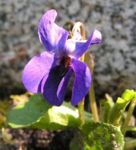 Duft Veilchen Wohlriechendes Veilchen Bluete blauviolett Viola odorata 01