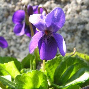 Duft Veilchen Wohlriechendes Veilchen Bluete blauviolett Viola odorata 06