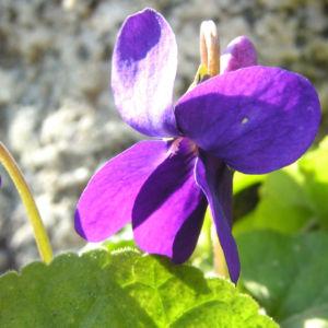 Duft Veilchen Wohlriechendes Veilchen Bluete blauviolett Viola odorata 08