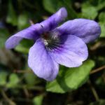 Duftveilchen Maerzveilchen Viola odorata 03