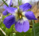 Duftveilchen Maerzveilchen Viola odorata 04