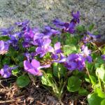 Duftveilchen Wohlriechendes Veilchen Viola odorata 11