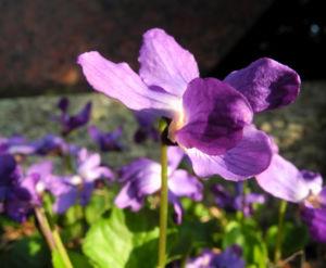 Duftveilchen Wohlriechendes Veilchen Viola odorata 12