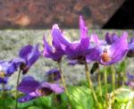 Duftveilchen Wohlriechendes Veilchen Viola odorata 13