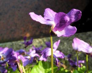 Duftveilchen Wohlriechendes Veilchen Viola odorata 14