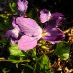 Duftveilchen Wohlriechendes Veilchen Viola odorata 16