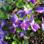 Bild: Duftveilchen Wohlriechendes Veilchen Blüte blau lila Viola odorata
