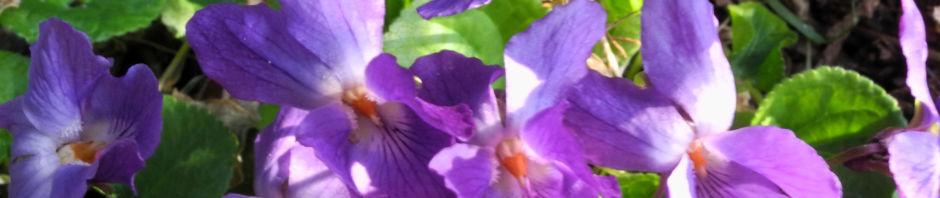 duftveilchen-wohlriechendes-veilchen-bluete-blau-lila-viola-odorata