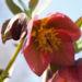 Zurück zum kompletten Bilderset Hecken-Nieswurz Blüte rötlich Helleborus dumetorum