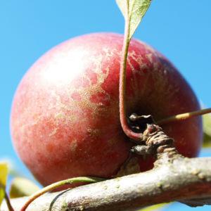 Dunkelroter Altai Apfel Baum Frucht Malus sieversii 01