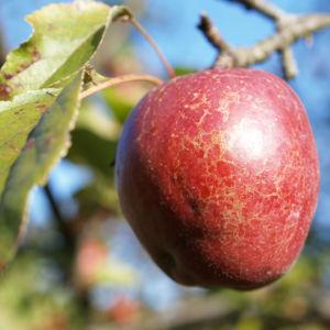 Dunkelroter Altai Apfel Baum Frucht Malus sieversii 02