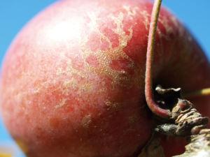 Dunkelroter Altai Apfel Baum Frucht Malus sieversii 03