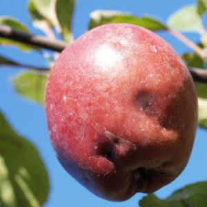 Dunkelroter Altai Apfel Baum Frucht Malus sieversii 04