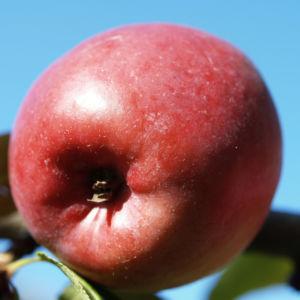 Dunkelroter Altai Apfel Baum Frucht Malus sieversii 07