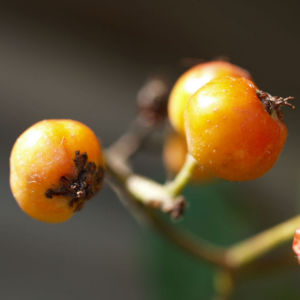 Eberesche Baum Frucht rot Sorbus aucuparia 01