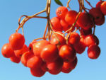 Eberesche Baum Frucht rot Sorbus aucuparia 03