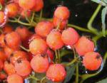 Eberesche Baum Frucht rot Sorbus aucuparia 04