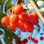 Eberesche Baum Frucht rot Sorbus aucuparia 05
