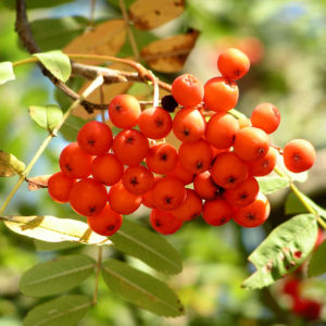 Eberesche Baum Frucht rot Sorbus aucuparia 06