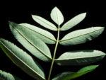 Eberesche Blatt gruen Sorbus aucuparia 01