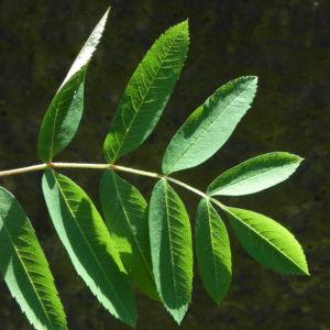 Eberesche Blatt gruen Sorbus aucuparia 02