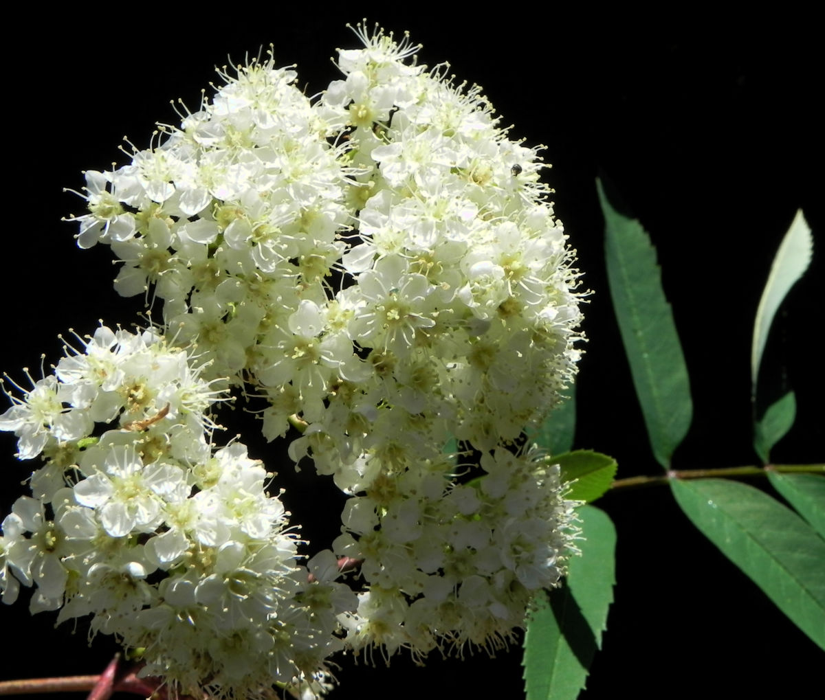 Eberesche Blatt gruen Sorbus aucuparia