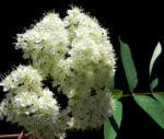Eberesche Blatt gruen Sorbus aucuparia 06