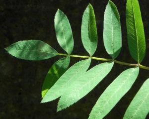 Eberesche Blatt gruen Sorbus aucuparia 07