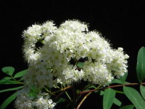 Eberesche Bluete weiss Sorbus aucuparia 01