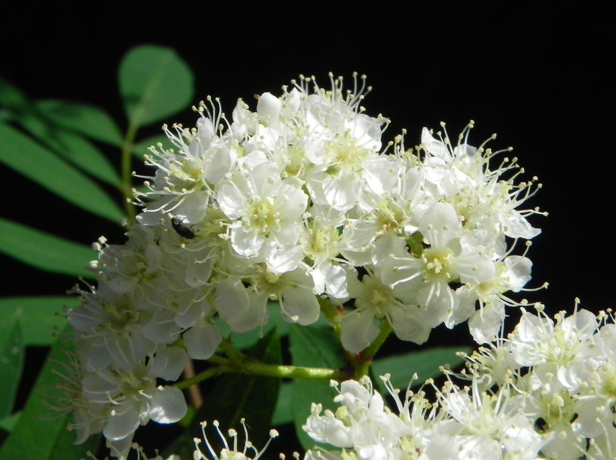 Eberesche Bluete weiss Sorbus aucuparia