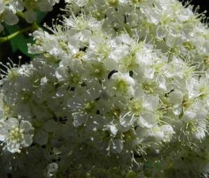 Eberesche Bluete weiss Sorbus aucuparia 03