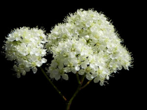 Eberesche Bluete weiss Sorbus aucuparia 05