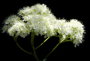 Eberesche Bluete weiss Sorbus aucuparia 07