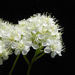 Eberesche Bluete weiss Sorbus aucuparia 08
