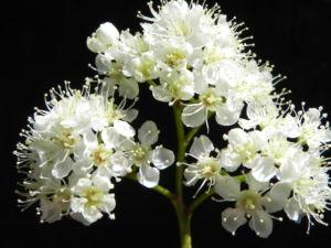 Eberesche Bluete weiss Sorbus aucuparia 10