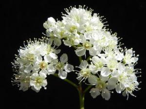 Eberesche Bluete weiss Sorbus aucuparia 16