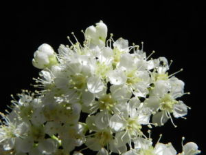 Eberesche Bluete weiss Sorbus aucuparia 17