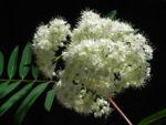 Bild: Eberesche Blüte weiß Blatt grün Sorbus aucuparia