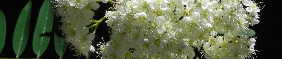eberesche-bluete-weiss-blatt-gruen-sorbus-aucuparia