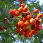Eberesche Frucht Sorbus aucuparia 02
