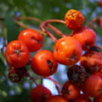 Eberesche Frucht Sorbus aucuparia 03