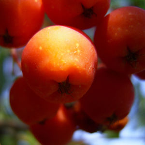 Eberesche Frucht Sorbus aucuparia 04